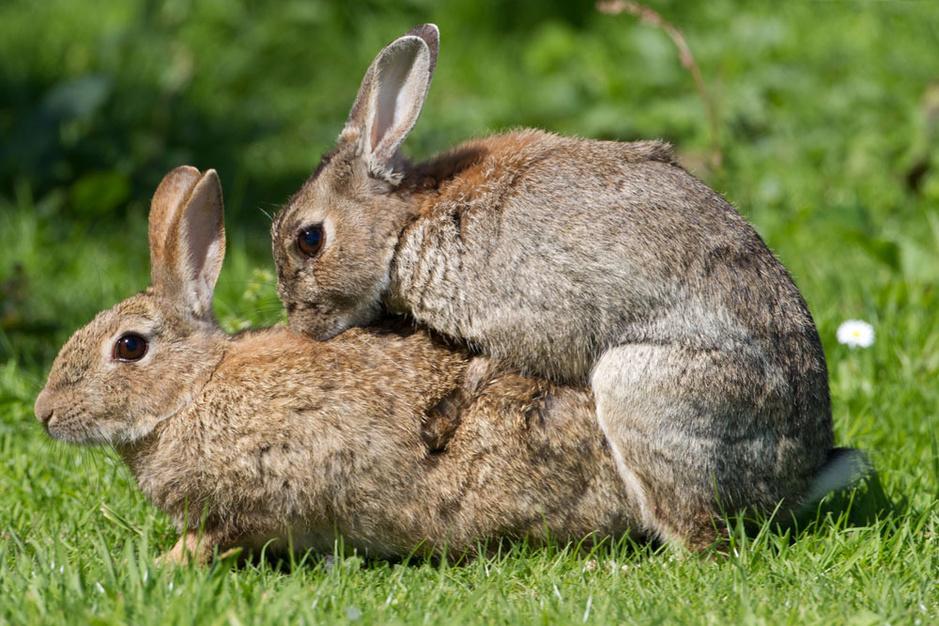 Het vrouwelijk orgasme: hoe parende konijnen een raadsel oplossen