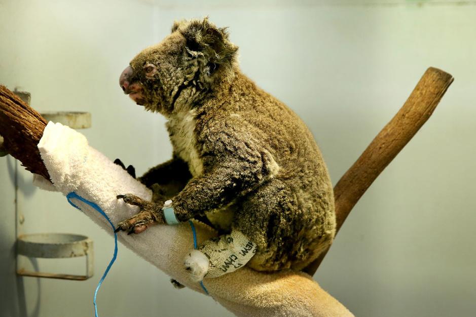 In beeld: de impact van de bosbranden op dieren in Australië