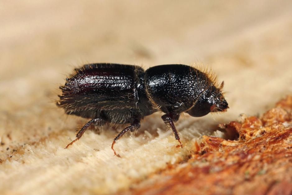 Beestenboel: de letterzetter is een van de grootste bedreigingen voor Europees naaldhout