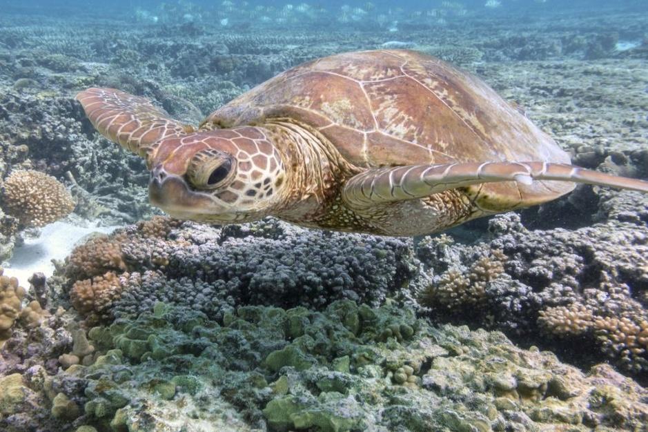 Aantal nieuwe koralen in Groot Barrièrerif daalt met 89 procent