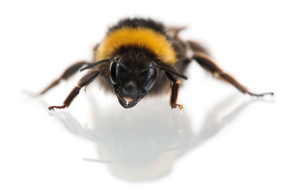 Beestenboel: hommels ontsnappen niet aan het parasietenverhaal