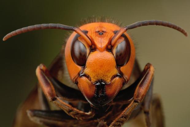 Wie helpt? In deze 15 gemeenten zijn ze dringend op zoek naar nesten van de Aziatische hoornaar