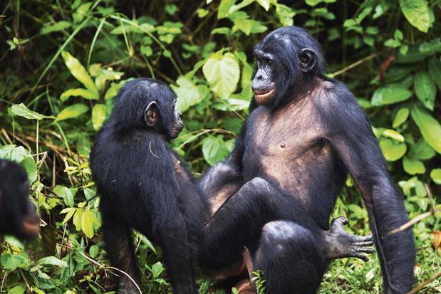 Seks tussen bonobomannen