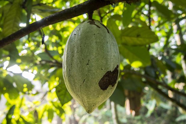 Callebaut ontwikkelt chocolade waarbij de volledige cacaovrucht wordt gebruikt