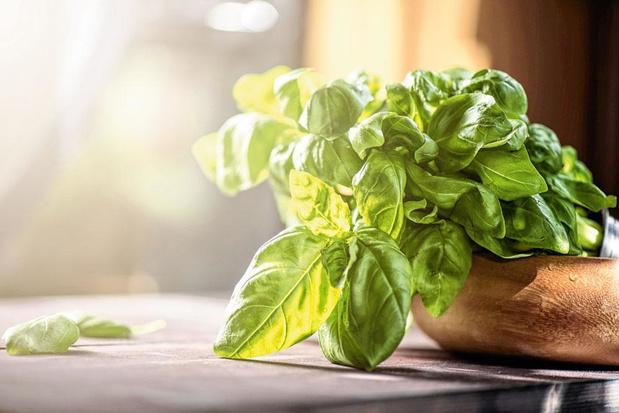 Le basilic, herbe indispensable à avoir dans sa cuisine