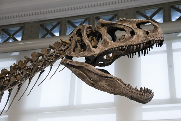 Brussels Museum voor Natuurwetenschappen toont dinosoort die nooit eerder te zien was