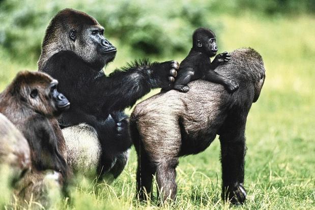 Sociale gorilla's