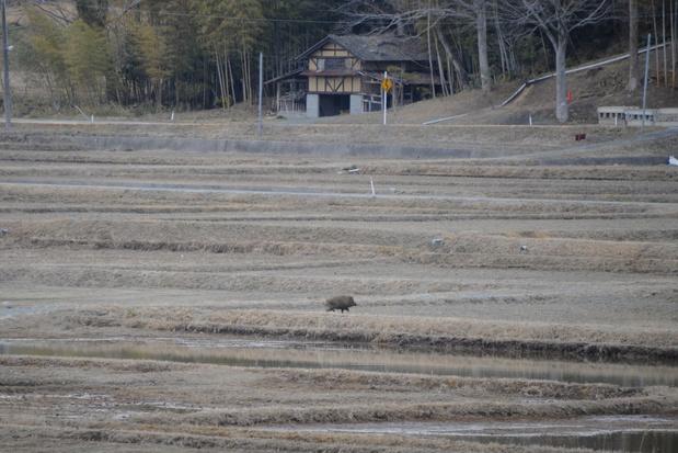 Wildpopulatie in Fukushima bloeit nu er geen mensen zijn