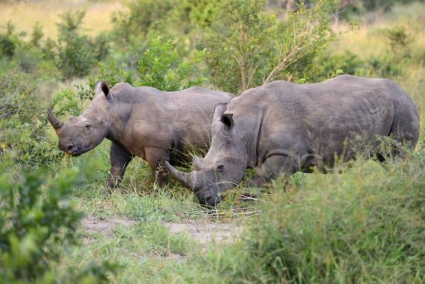 Zeventien zwarte neushoorns verhuisd van Zuid-Afrika naar Malawi