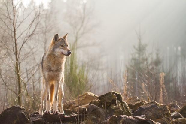 Limburg lanceert gratis pop-up tentoonstelling over wolven