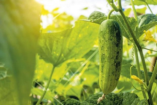 Komkommer: wereldbreed populair
