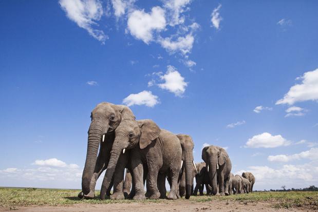 Stroperij op olifanten in Afrika daalt, maar de populatie blijft in gevaar