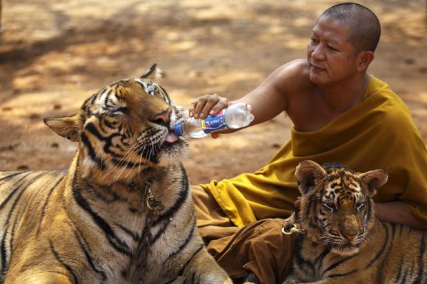 Helft van de 147 uit de beruchte Thaise 'tijgertempel' geredde tijgers overleden