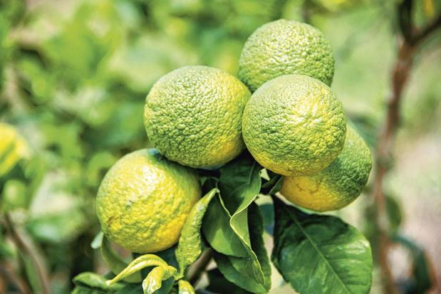 Zieke sinaasappels