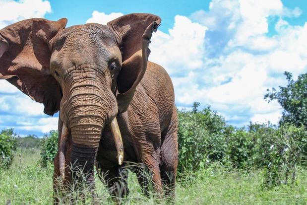 Stroper in Zuid-Afrika vermoedelijk gedood door olifant en opgegeten door leeuwen