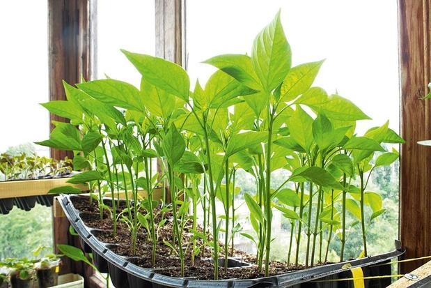 Des légumes rustiques relancés grâce à la mémoire russe des semences