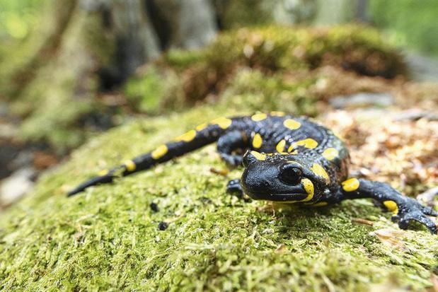 Walhalla voor salamanders