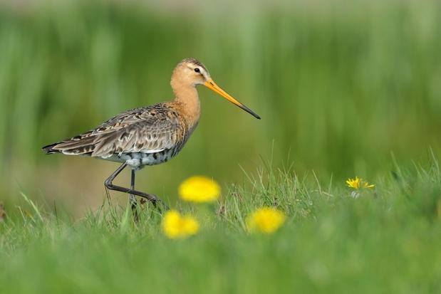 Aantal akker- en weidevogels in Vlaanderen blijft dalen