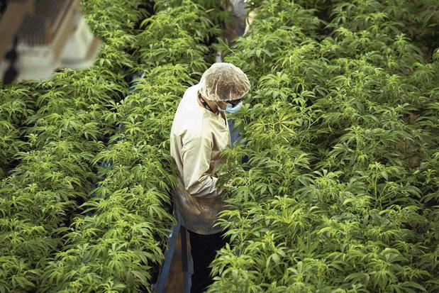 L'Europe, eldorado à conquérir pour les professionnels du cannabis