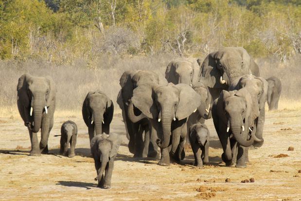 Zimbabwe wil honderden olifanten, leeuwen en andere wilde dieren verhuizen wegens droogte