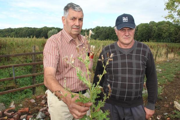 """Landbouwers vragen provincie om distels te bestrijden: """"Schadelijk voor runderen en boeren"""""""