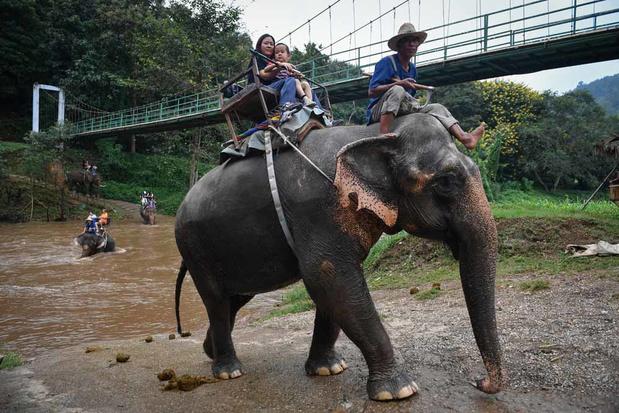 En Thaïlande, les éléphants à touristes, victimes collatérales du coronavirus