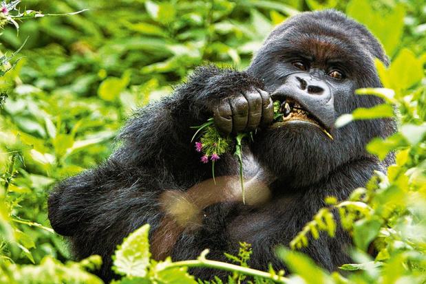Gorilla's als tuinier