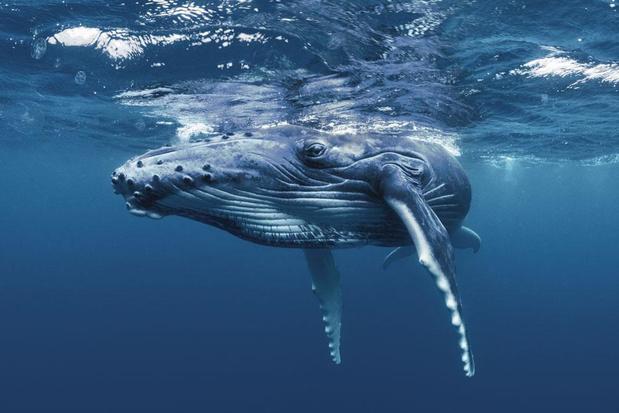 """Pour absorber le CO2, """" une seule baleine vaut des milliers d'arbres """""""
