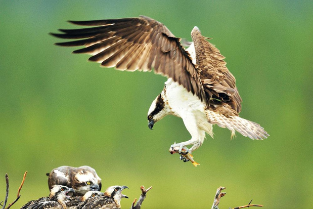 Vliegende visarend