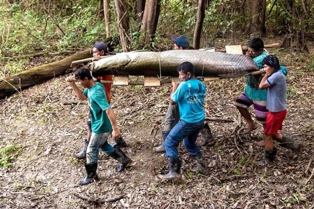 La survie miraculeuse du pirarucu, poisson géant d'Amazonie (en images)