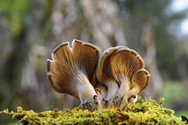 Un champignon pour neutraliser le cholestérol des aliments