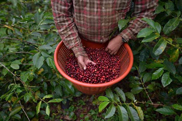 Le subtil arabica: une espèce de café oubliée
