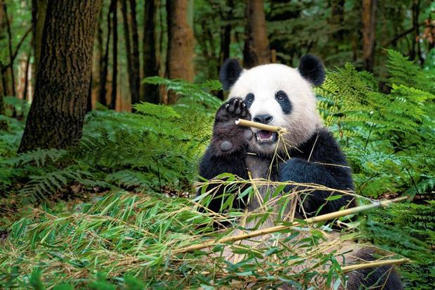 Pairi Daiza, Planckendael, zoo d'Anvers: voici quand et comment vont rouvrir les parcs animaliers