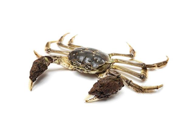 La Flandre envahie par les crabes chinois