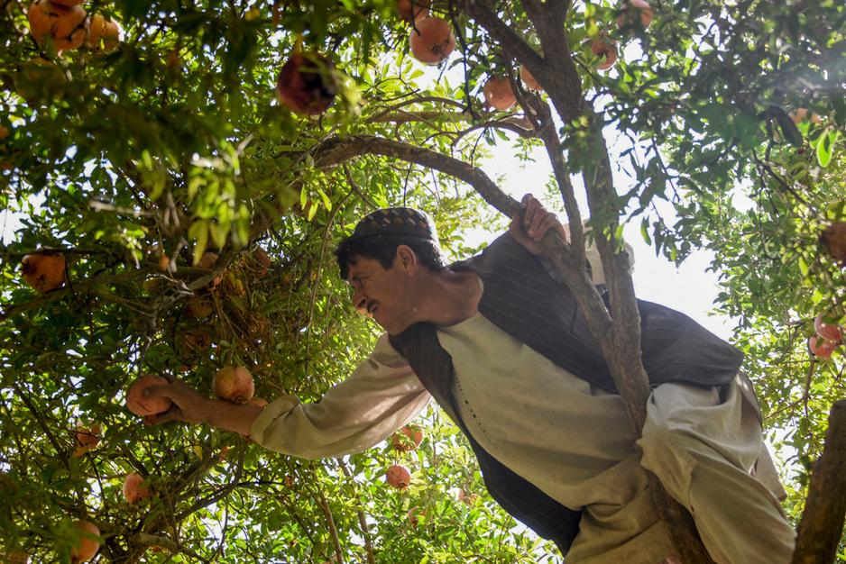 Pour les fermiers afghans, la grenade moins juteuse que le pavot (en images)