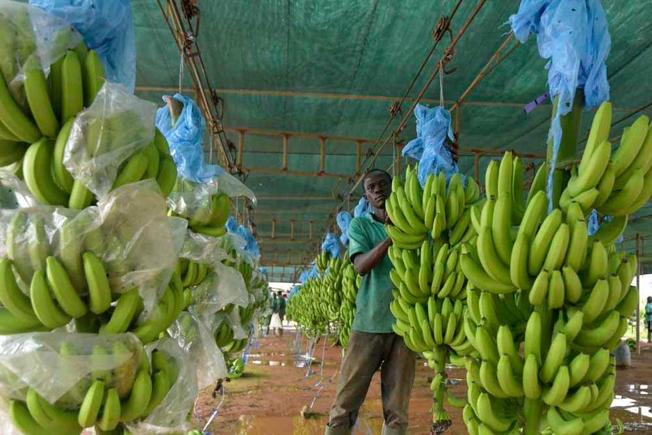 Dans les coulisses de la banane africaine (en images)