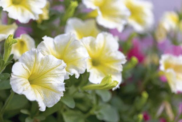 Witte petunia's