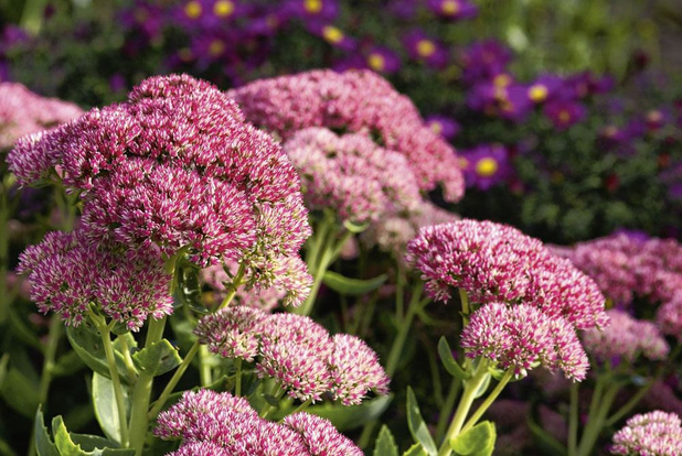 Gewillig vetkruid kleurt jouw tuin