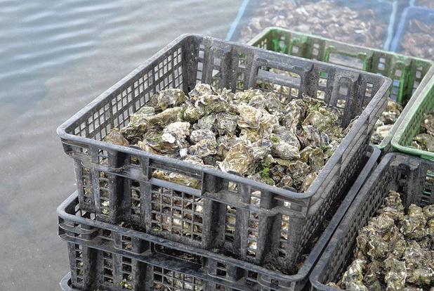 Gober des huîtres ou des microplastiques ?