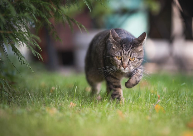 Jonge kattin verliest staart in vossenklem en sterft