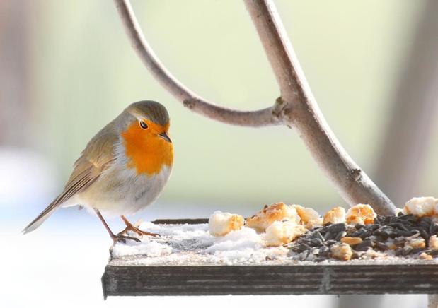 Vogels voederen: spek voor ieders bek