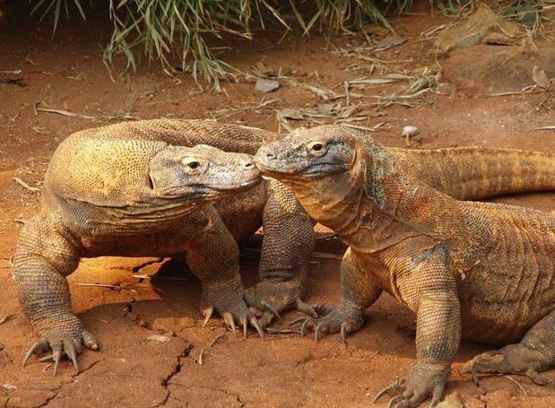 L'Indonésie ferme l'île de Komodo pour protéger les dragons