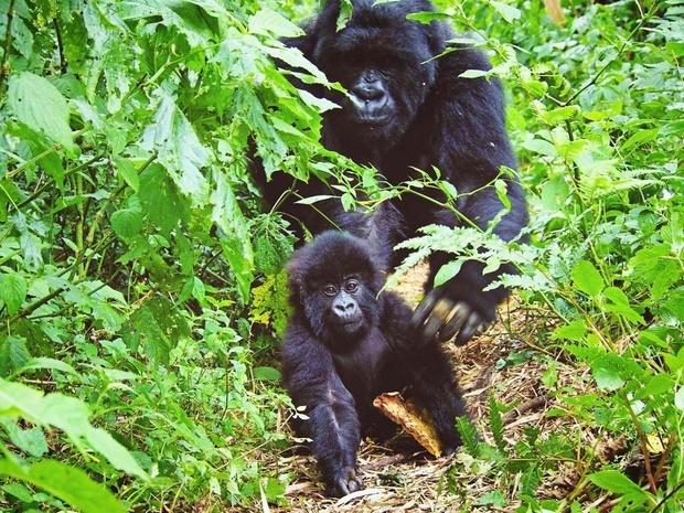 Opnieuw een berggorilla geboren in Virunga