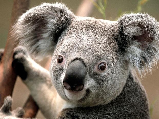Plus de 60.000 koalas touchés lors des incendies en Australie
