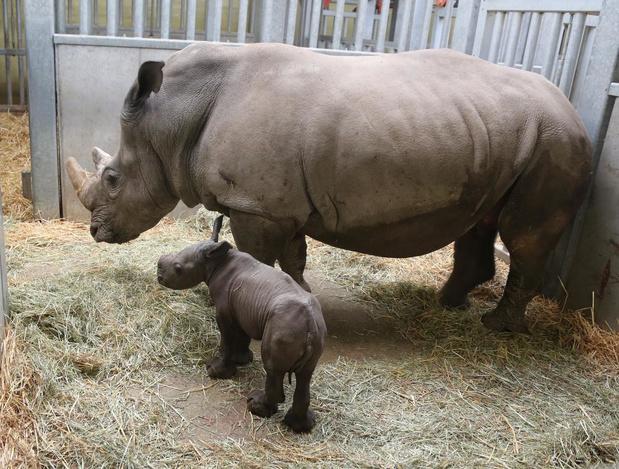 Zuidelijke witte neushoorn geboren in Pairi Daiza, tweede kalfje op komst