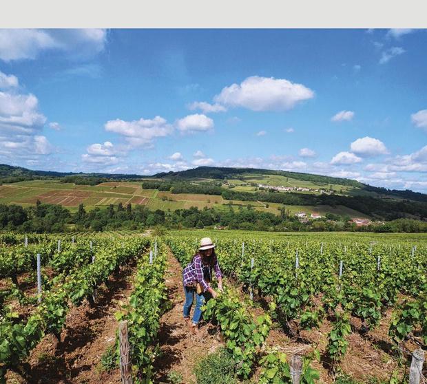 2021, une année catastrophique pour les vins de Bourgogne