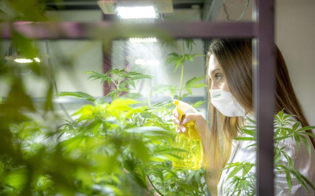 Une plantation de cannabis canadienne pilotée par high-tech de Lierre