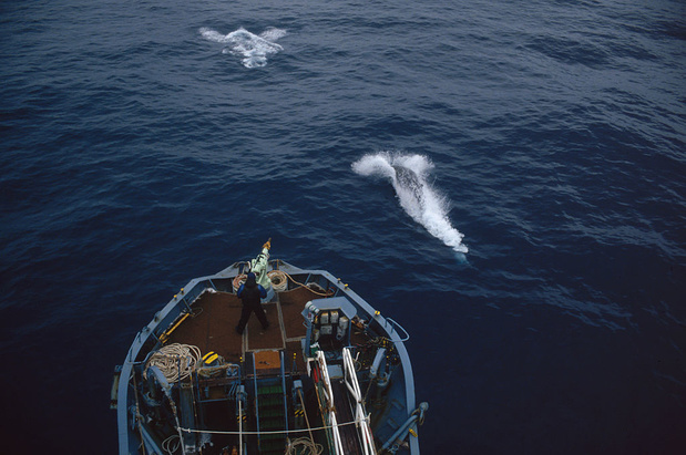 Japan blaast commerciële walvisjacht officieel nieuw leven in