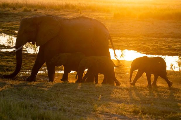Meer dan tweehonderd olifanten mysterieus overleden in Botswana