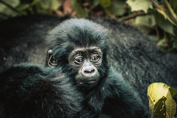 Toeristen komen te dicht bij de berggorilla's in Oeganda